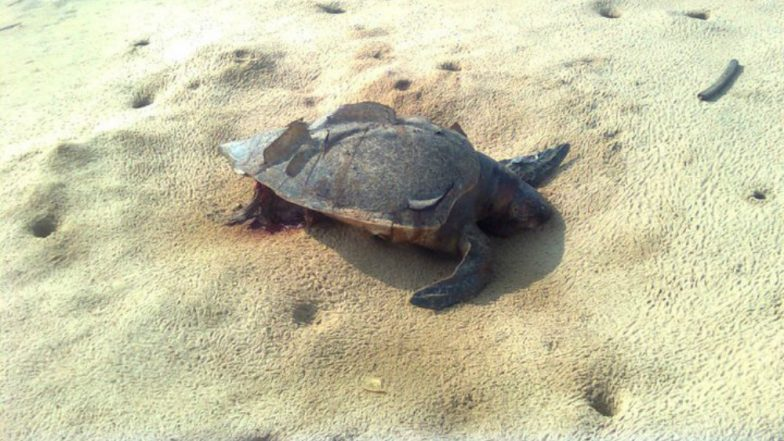 300 Endangered Olive Ridley Turtles Dead on Mexico Coast Due to Illegal Fishing