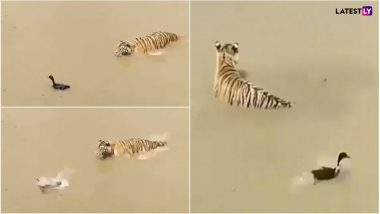 Duck Survives a Tiger Attack! This Viral Video Teaches Us How to Duck Problems Skilfully
