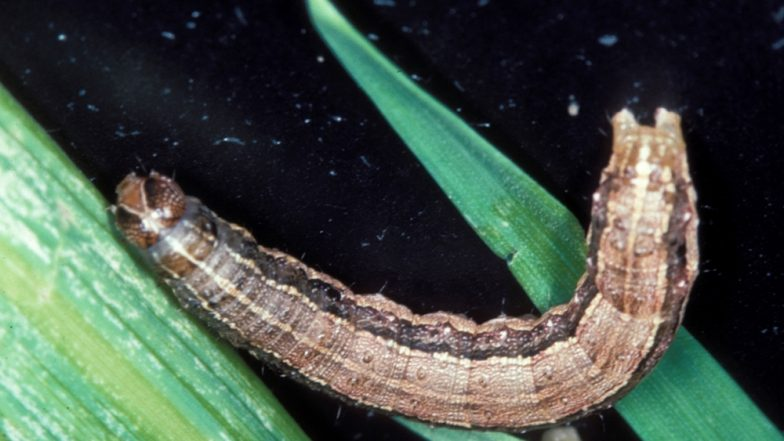Fall Armyworm Will Threaten Food Security and Livelihoods of Farmers in Asia and China After Destroying Crops in Africa