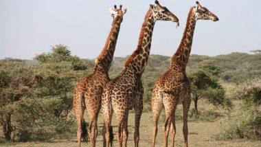 Giraffe Parts on Sale! 40,000 Products Approximately Worth 4,000 Giraffe Deaths Have Been Imported Legally in US
