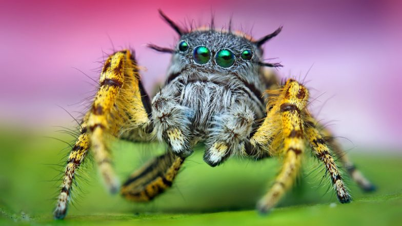 Jumping Spiders Which Can Leap 6ft Found For The First Time In UK