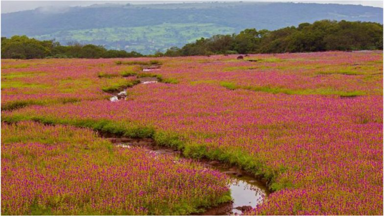 Kaas Plateau 2018 Best Time To Visit: Here's Why You Should See Maharashtra's Valley of Flowers, View Beautiful Pics!