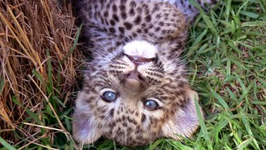 Teenagers Rescue 2 'Vulnerable' Leopard Cubs in Nagaland Village