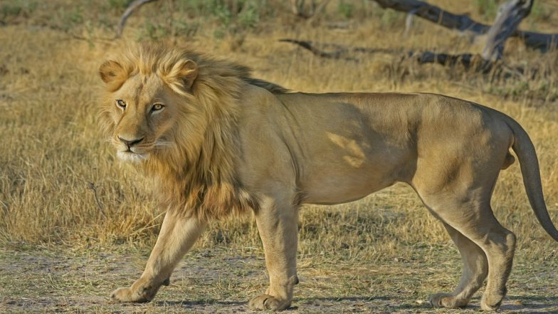 Man Mauled to Death by Lions in Punjab Zoo, Probe Ordered to Know How He Entered Enclosure