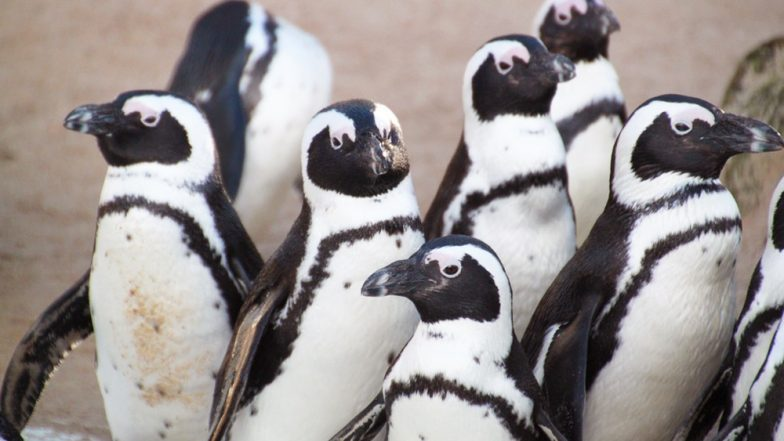 Penguins Are Disappearing! 90% of The Largest Colony Shrunk in 3 Decades Reveals New Study