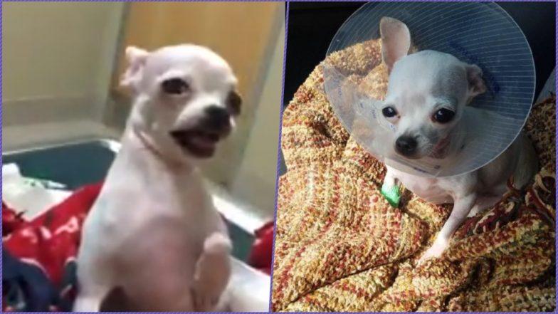 Chihuahua Accidentally Consumed Marijuana Edible! Video of Stoned Dog Goes Viral