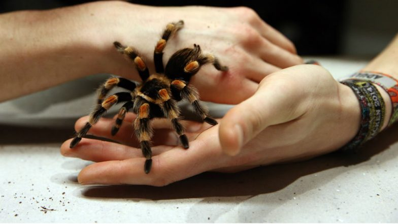 Illegal Tarantula Trade Costs Singaporean Man S$12800; He Kept Over 90 'Protected' Spiders at Home