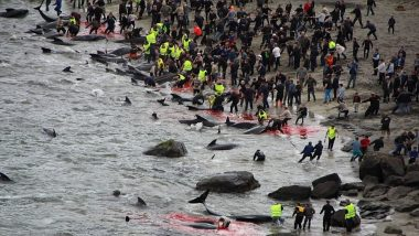 Faroe Islands' Annual Tradition of Whaling Draws Storm on Social Media (Warning: Disturbing Images)