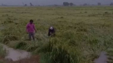 Haryana Rains: Heavy Downpour Destroy Paddy Crops in Karnal District