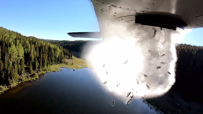 Flying Fish in Utah! Thousands of Trouts Dropped From Airplane Into Lake For 'Stocking Up,' Watch Video!