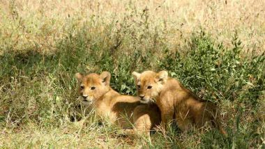 Lioness Gives Birth to First Test-Tube Cubs in Africa, a Way Out to Save Endangered Species, Claim Scientists