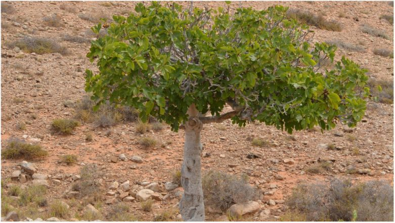 Dead Man Missing for 40 Years Found in Cyprus After Fig Tree Grows from Seed in His Stomach