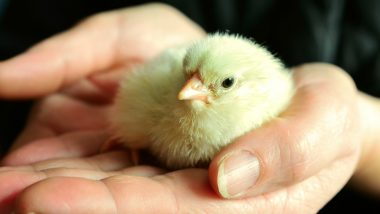 Newborn Chicks Hatched From Supermarket Eggs! They Welcomed Russian Woman Home After a Vacation