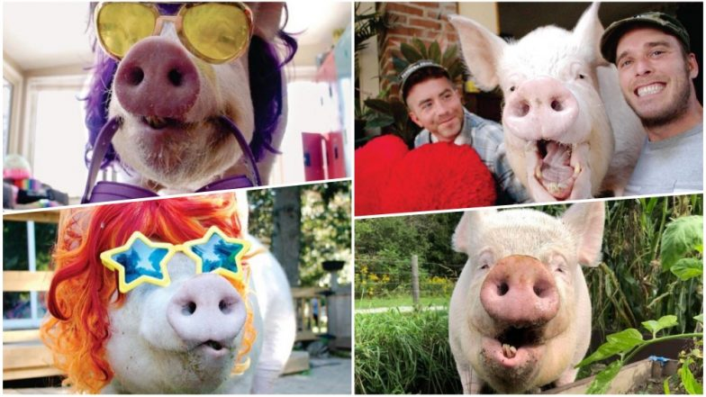 Esther The Wonder Pig Beats Breast Cancer! Porky On The Road To Recovery After Life-Saving Surgery