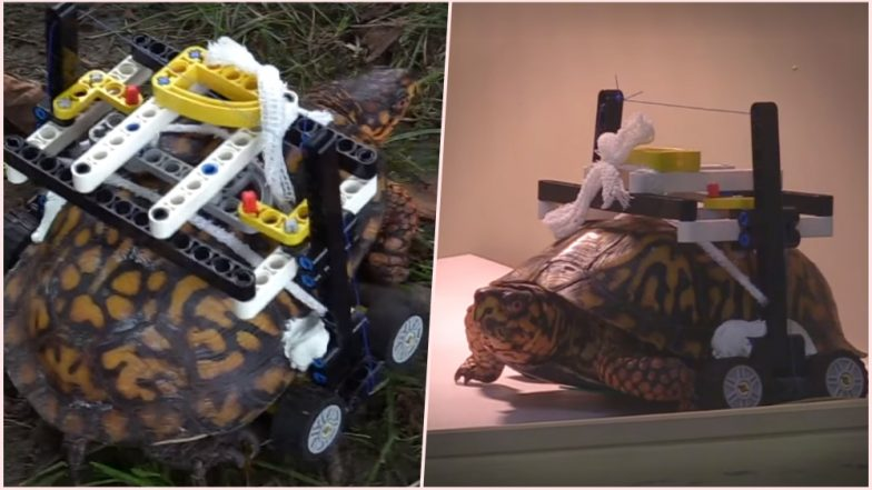 Injured Wild Eastern Box Turtle at Maryland Zoo Gets Custom-Made Wheelchair Made of Legos; Watch Video