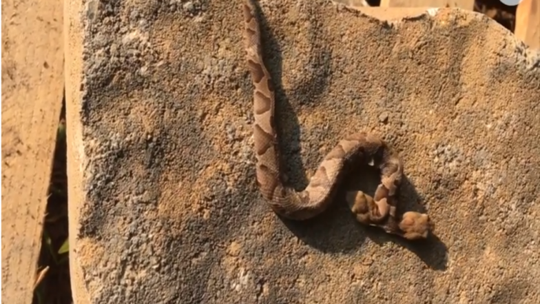 Rare Two-Headed Viper Snake Found in House-Garden in Virginia, Watch Video