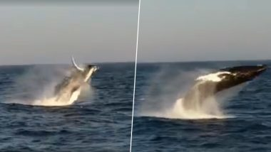 Three Humpback Whales Breaching Are a Delightful Spectacle (Watch Video)