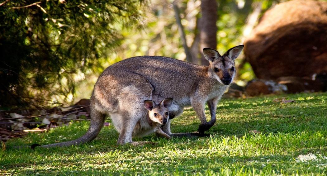 Exhausted Kangaroo Cools Down in Backyard Pool As Australia Experiences Scorching Heat Waves (Watch Video)