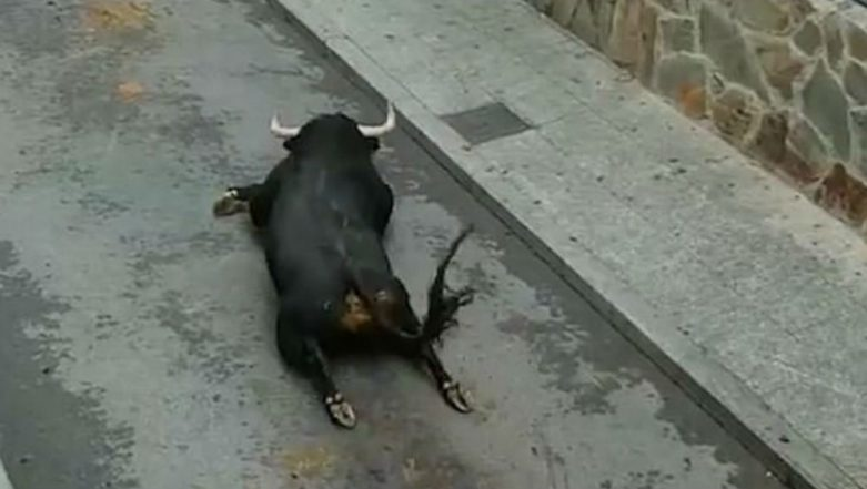 Spain: Bull Breaks Both Legs After Leaping From Ramp Placed too High; Heart Breaking Video Goes Viral