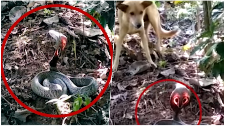 Rare Cobra With Shining Red Hood Spotted at Chikmagalur Farmland in Karnataka, Watch Video