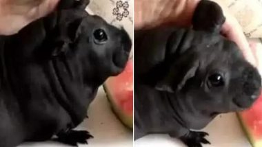 Man in China Adopts Chubby Dog, Turns Out to Be a Bamboo Rat! View Pic
