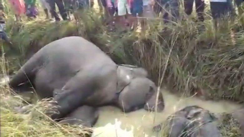 Odisha: Seven Elephants Electrocuted to Death Near Kamalanga Village in Dhenkanal District