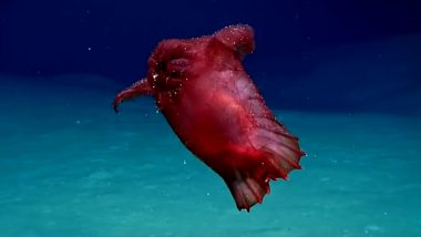 Headless Chicken Monster Filmed in Antartica Ocean for the First Time, Watch Video of the Weird-Looking Sea Cucumber