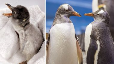 Gay Penguin Couple Sphengic From Sydney Welcome Their Baby, View Cute Pic of The Newly-Born Penguin Chick