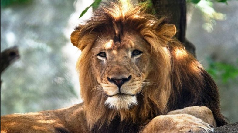 Gujarat Launches Rs 351 Crore Project to Conserve Gir Lions