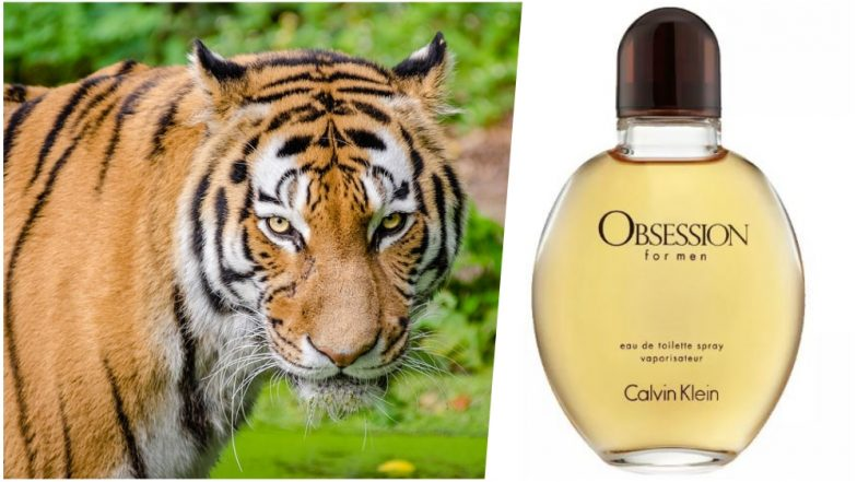 How to Attract Tigers? Indian Forest Officials Try Calvin Klein's Obsession Cologne Which Makes Wild Cats Go Crazy!