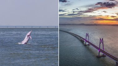 Rare White Dolphins Spotted Along the World's Longest Sea Bridge in China, See Videos and Pics