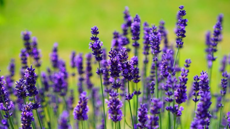 Lavender Could Be Good As Valium To Calm Anxiety, Says Study