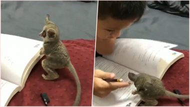 This Lil 'Mouse Lemur' Will Make Any Kid Do His Homework Right! Watch One of the Cutest Animal Video Here