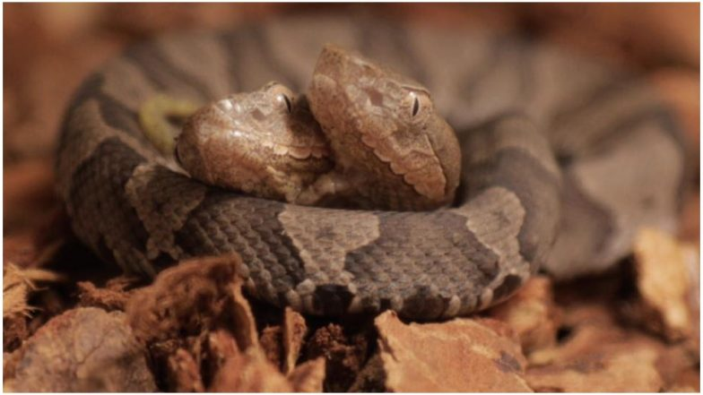 Rare 2-Headed Copperhead Snake Found in Kentucky Home; to Be Displayed at Wildlife Centre