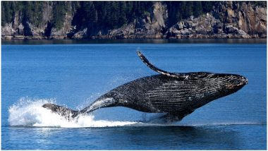 Male Humpback Whales' Singing Pattern Changes, Thanks to Shipping Noise