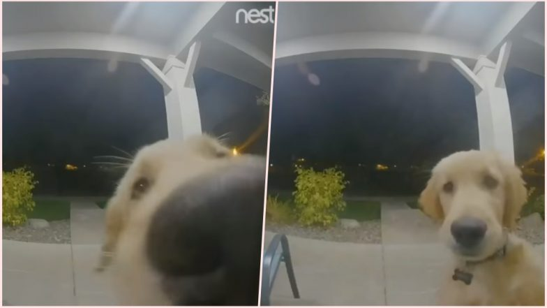 Golden Retriever Pup Accidently Locks Himself Out; Clever Dog Uses Video Doorbell to Get Back in the House