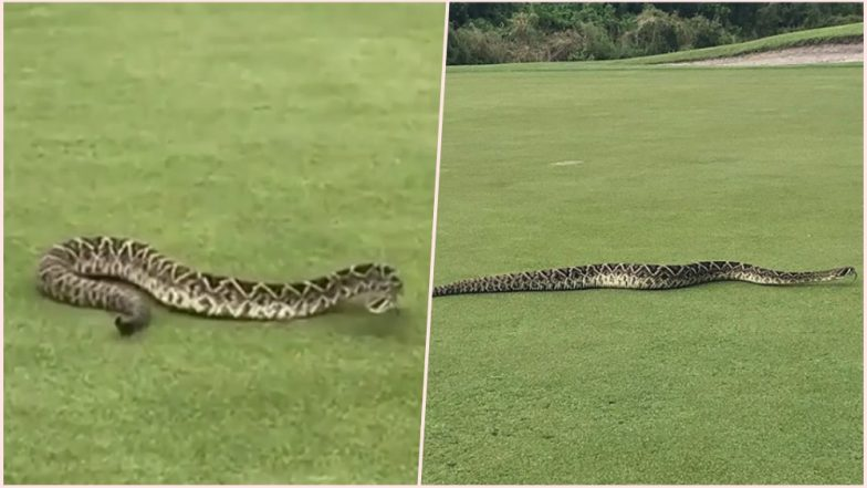 Huge Rattlesnake Takes a Leisure Crawl at Florida Golf Course! Watch Viral Video the Serpent