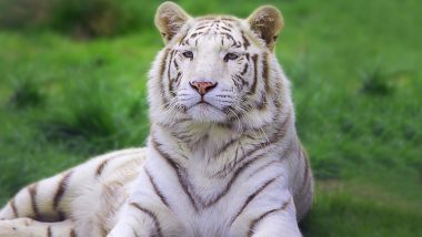 White Tiger Kills Japan Zookeeper! Man Was Found Bleeding From the Neck Inside the Tiger's Cage at Hirakawa Zoological Park
