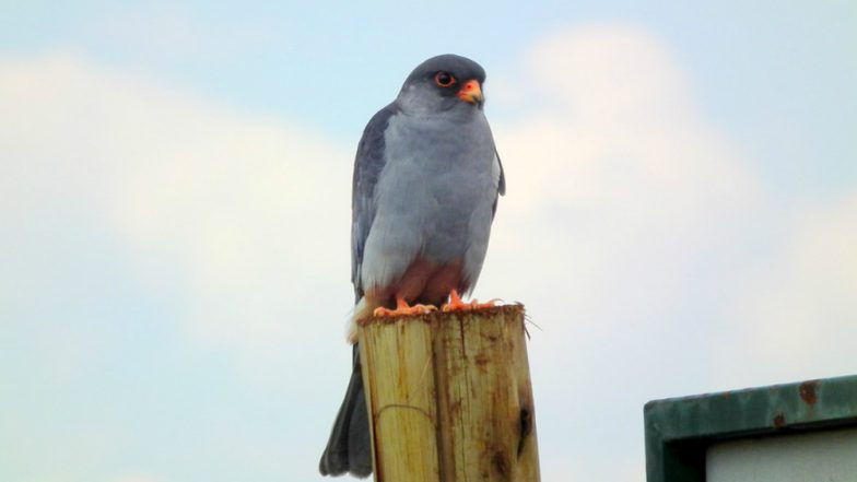 Amur Falcon Conservation Week 2018: Nagaland Government Promotes Eco-Tourism Around Birds' Migratory Season