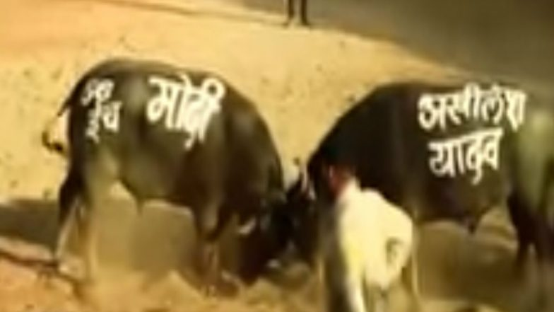 Narendra Modi vs Akhilesh Yadav: The Bull Fight With a Funny Ending Goes Viral Ahead Of 2019 Lok Sabha Elections