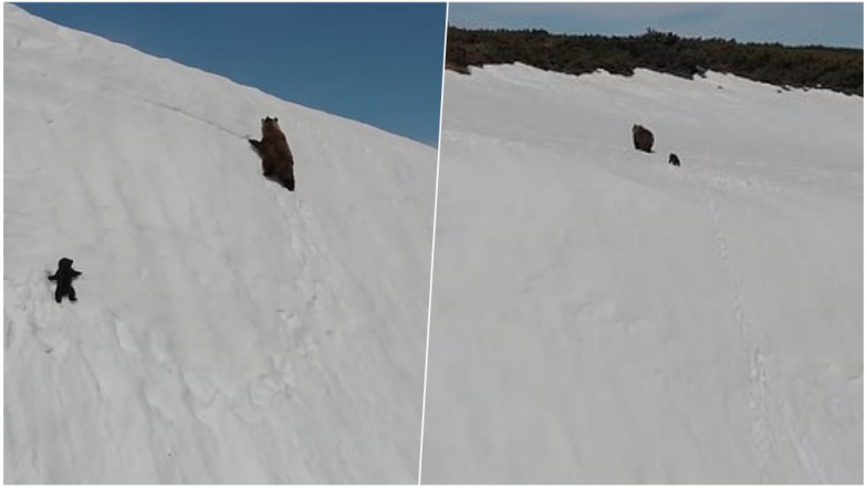 Cute Little Bear Cub Struggling to Climb a Snow Mountain With Watchful Mother on Top is Going Viral, Watch Motivating Video