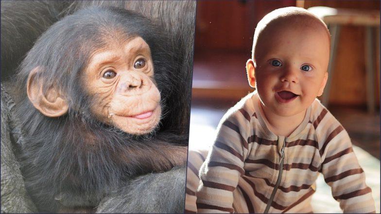 Chimpanzee and Human Babies Laugh Alike: Study