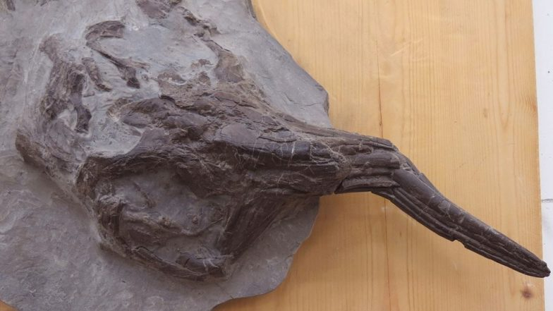 Ichthyosaur, The 145-Million-Year-Old Fossil Uncovered From Kutch Becomes Subject of Debate Between Students and Delhi Scientists