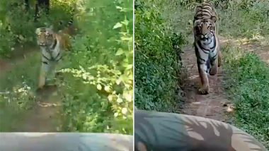 Tigress Chases Jeep Carrying Tourists in Maharashtra's Tadoba Andhari Tiger Reserve, Watch Breathtaking Video