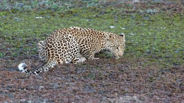 Leopard Causes Panic in Greater Noida; Captured and Released by Forest Department