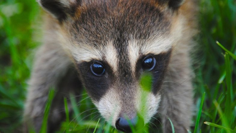 Drunk Raccoons Thought to be Infected by Rabies Were Found Behaving Weirdly in West Virginia