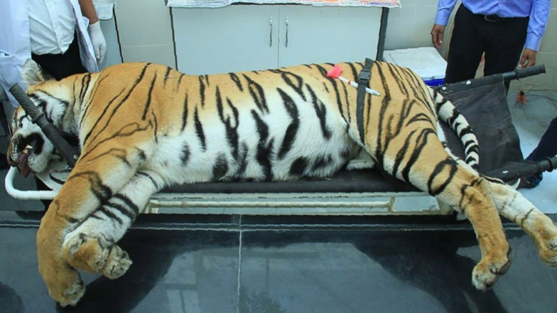 Maharashtra Tigress Avni's Killing: Appeal to Prime Minister Narendra Modi for Probe, Plea in Supreme Court Soon