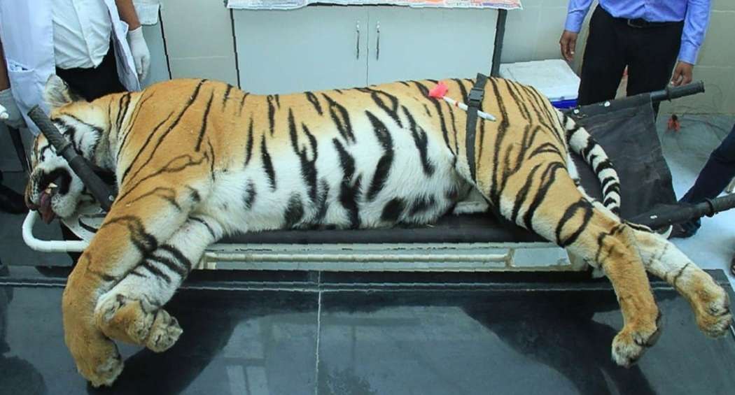 Tigress Avni Death Anniversary: Animal Activists to Hold Prayer Meets Across Country Tomorrow