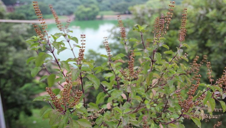Tulsi Vivah 2018: 12 Health Benefits of Holy Basil, the Queen of All Herbs That You Should Know Of