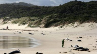51 Whales Die After Mass Stranding Off on Chatham Island in New Zealand